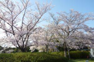 万博記念公園の桜2019